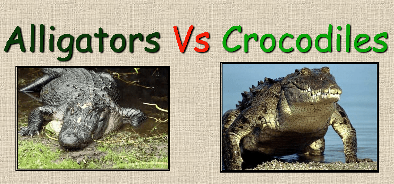 what is the difference between alligators Difference #5 - skin colour pretty simple one - an adult alligator's skin is usually a darker, grayish black colour, but the skin of adult crocodiles is usually a lighter tan/brown colour.